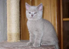 Foto 3 Liebevolle BKH Kitten