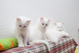 Foto 3 Liebevolle Kater (Türkische Angora) abzugeben