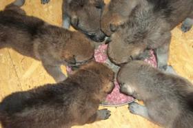 Lobo pro - Artgerechtes Hundefutter aus Frischfleisch