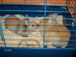 Löwenkopf Kaninchen 9 Wochen alt