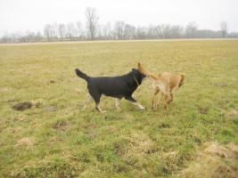 Foto 2 Loki Labrador Mischling gesucht Baunatal Bochum Herne