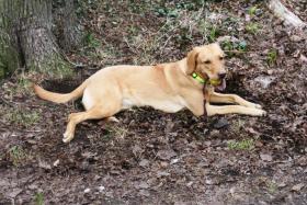 Foto 3 Loki Labrador Mischling gesucht Baunatal Bochum Herne