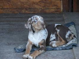 Foto 3 Louisiana Catahoula Leopard Dog mit Stammbaum