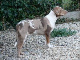 Foto 4 Louisiana Catahoula Leopard Dog mit Stammbaum