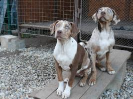 Foto 5 Louisiana Catahoula Leopard Dog mit Stammbaum