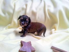 Foto 3 Luxus Welpen Merle Yorkshire Terrier mit Papiere