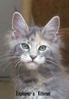 MAINE COON Katze, Jungkatze, *04.7.10, blue torbie, Stammbaum, geimpft, gechipt, sehr typvoll mit Luxpinseln und langem Schwanz