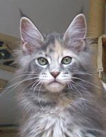 Foto 2 MAINE COON Katze, Jungkatze, *04.7.10, blue torbie, Stammbaum, geimpft, gechipt, sehr typvoll mit Luxpinseln und langem Schwanz