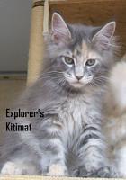 Foto 3 MAINE COON Katze, Jungkatze, *04.7.10, blue torbie, Stammbaum, geimpft, gechipt, sehr typvoll mit Luxpinseln und langem Schwanz