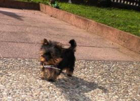 MINI Yorkshire Terrier Hündin zu verkaufen
