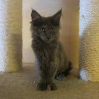 Foto 2 Main Coon Kitten