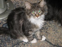 Foto 2 Maine Coon