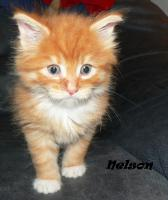Maine Coon Babies-Katzenbabies-Kitten-Sechs Wochen alt