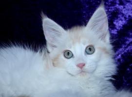Maine Coon Baby Mädchen in  red  silber white!!!