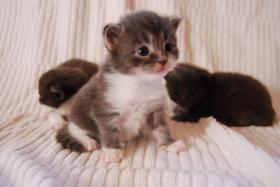 Foto 2 Maine Coon Babys Blue silver tabby & black tabby