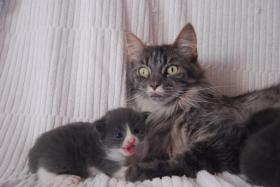 Foto 5 Maine Coon Babys Blue silver tabby & black tabby