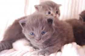 Foto 7 Maine Coon Babys Blue silver tabby & black tabby