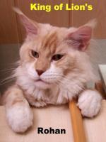 Foto 6 Maine Coon Jungkatze KASTRIERT, *04.7.11, gechipt, geimpft, Stammbaum, Luxpinsel, langer Schwanz