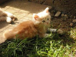 Foto 5 Maine Coon Kätzchen