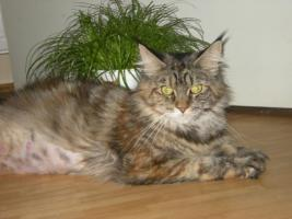 Maine Coon Kastratin