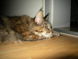 Foto 4 Maine Coon Kastratin