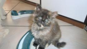 Foto 4 Maine-Coon-Katze Kätzchen mit Stammbaum