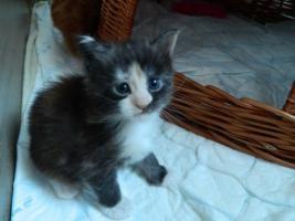 Maine-Coon-Katze Katzenbabys abzugeben