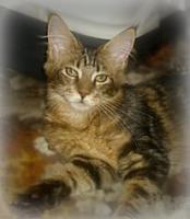 Maine-Coon-Katze mit Papiere Luxus Katzenbabys