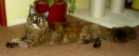 Foto 2 Maine-Coon-Katze mit Papiere Luxus Katzenbabys