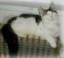 Foto 3 Maine-Coon-Katze mit Papiere Luxus Katzenbabys