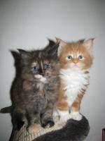 Foto 2 Maine-Coon-Katze mit Papiere zu Verkaufen