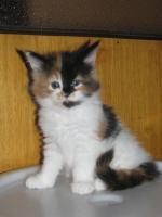 Foto 3 Maine-Coon-Katze mit Papiere zu Verkaufen