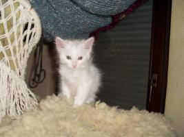 Foto 6 Maine Coon Kitten