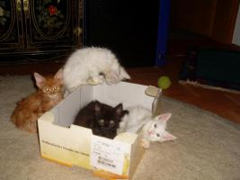 Foto 8 Maine Coon Kitten
