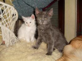 Foto 9 Maine Coon Kitten