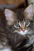 Foto 3 Maine Coon Kitten