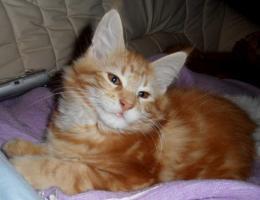 Maine Coon Kitten Ayane sucht Ihre Familie