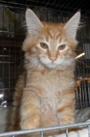 Foto 3 Maine Coon Kitten Ayane sucht Ihre Familie
