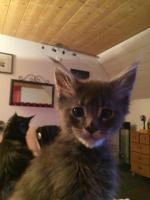 Maine Coon Kitten Buben und Mädels
