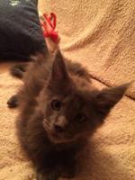 Foto 2 Maine Coon Kitten Buben und Mädels