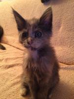 Foto 3 Maine Coon Kitten Buben und Mädels