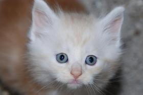 Maine Coon Kitten mit Papieren...