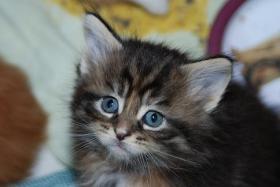 Foto 2 Maine Coon Kitten mit Papieren...