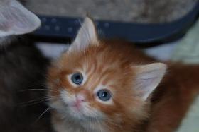 Foto 4 Maine Coon Kitten mit Papieren...