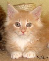 Maine Coon Kitten mit Papieren ab 300€