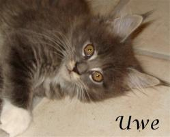 Foto 3 Maine Coon Kitten mit Papieren ab 300€