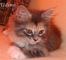 Foto 5 Maine Coon Kitten mit Papieren ab 300€