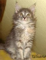 Foto 7 Maine Coon Kitten mit Papieren ab 300€