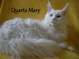 Foto 3 Maine Coon Kitten mit Staubaum