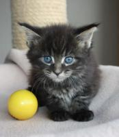 Maine Coon Kitten und Youngsters
